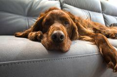 Hundehaare entfernen: Hund auf Sofa