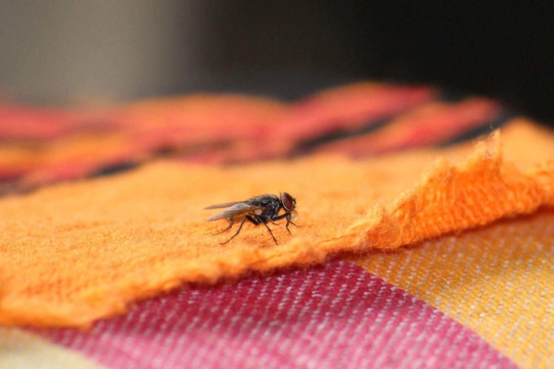 Hausmittel gegen Fliegen: So wirst du die Plagegeister los