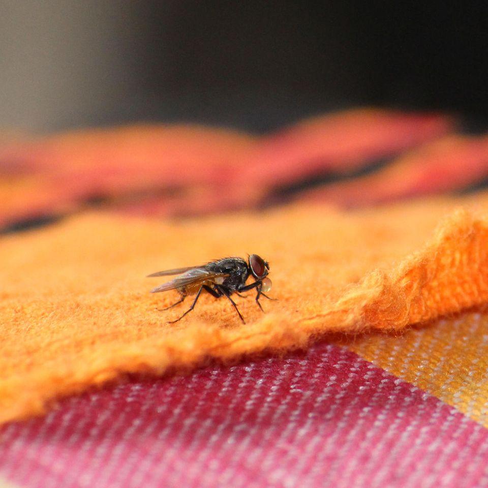 Hausmittel gegen Fliegen: Fliege in der Wohnung