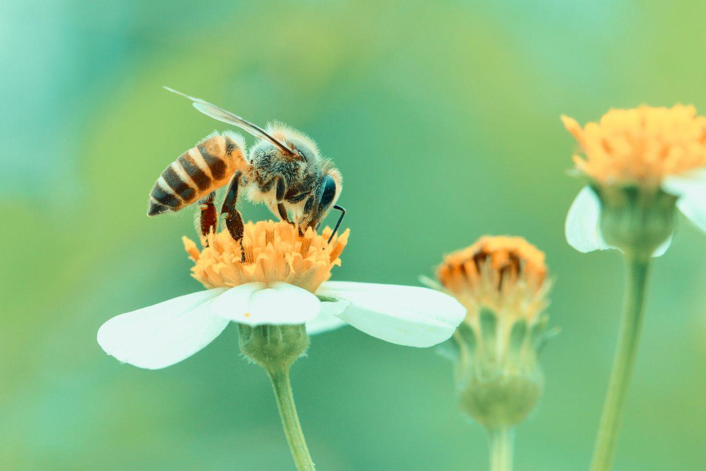 Bienensterben: Biene auf einer Blüte