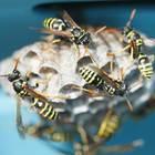 Wespennest entfernen: Wespen beim Bau ihres Nests