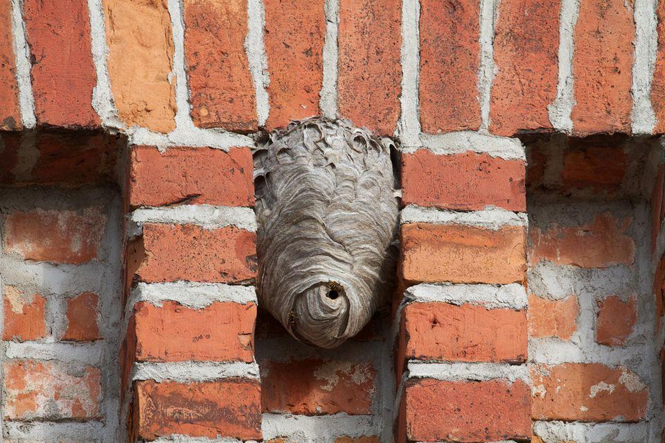 Wespennest entfernen: Nest an der Hauswand