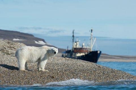 Spitzbergen: Ein Eisbär vor einem Fischerboot