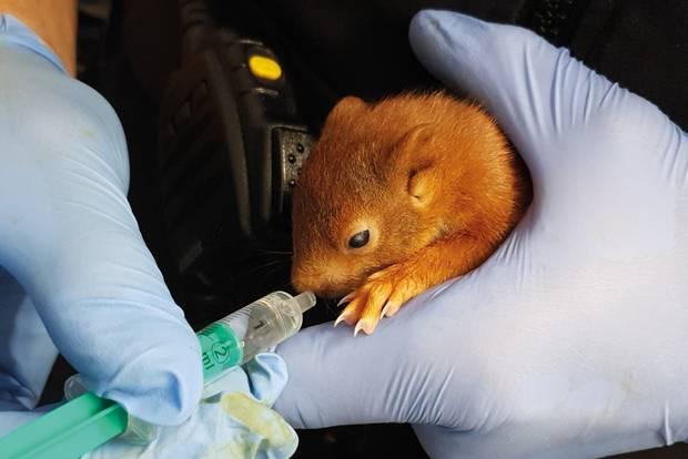 Karlsruhe: Beamter füttert Eichhörnchen mit einer Spritze