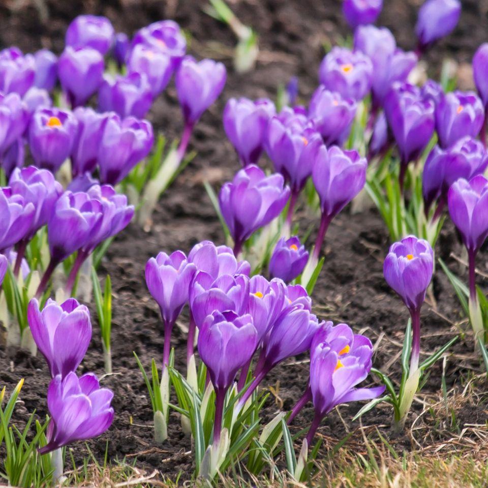 Krokusse pflanzen: Lilafarbene Krokusse im Garten
