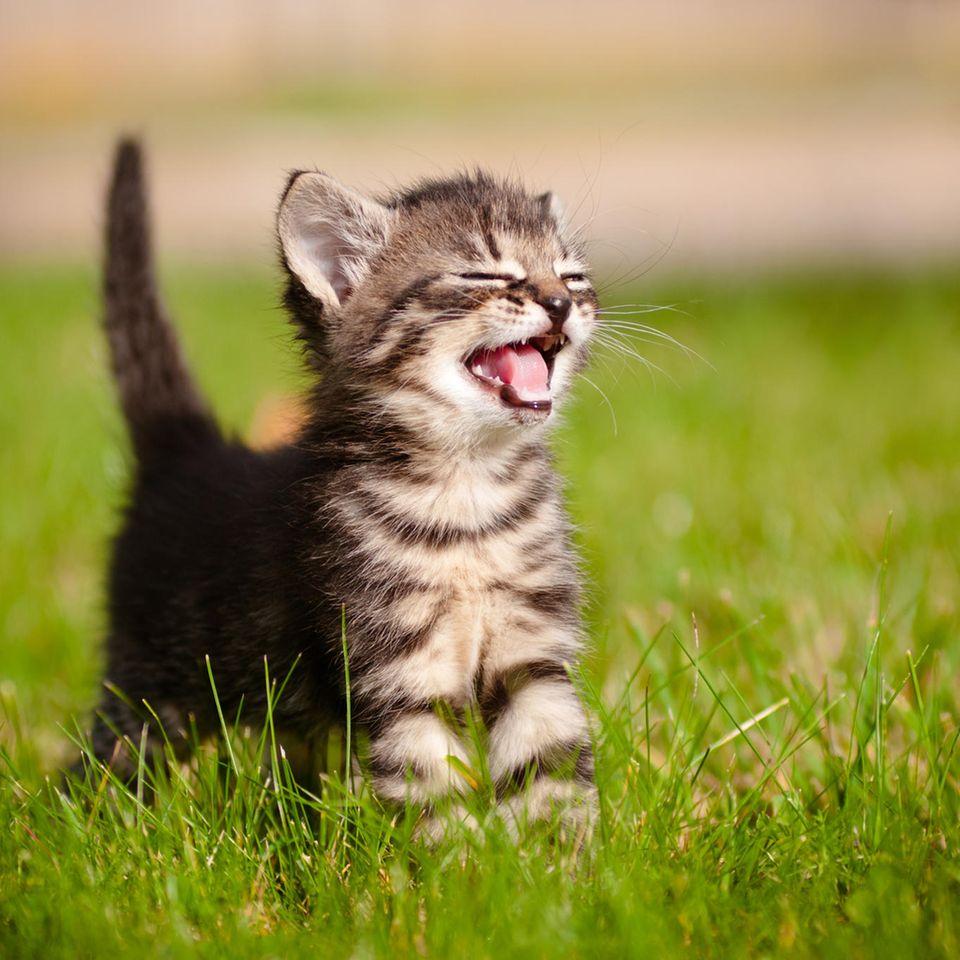 Kätzchen verteidigt Fressnapf