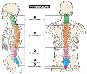Was tun bei Rückenschmerzen: Grafik der Wirbelaäule