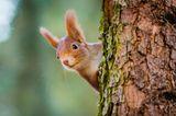Herbst-Ideen: Eichhörnchen sitzt hinter einem Baum