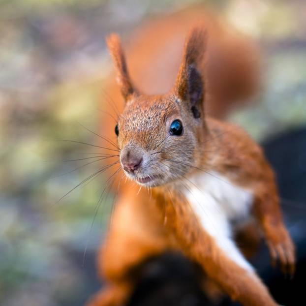 Echte Eichhörnchen Orgy-Akte