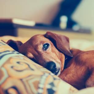 Hund einschläfern - alter Dackel ist müde