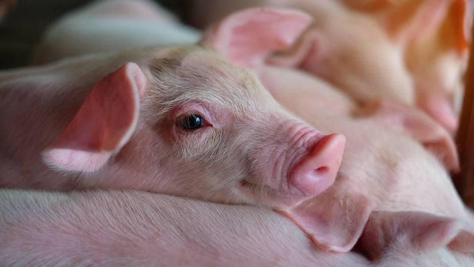 Ferkel Schwein