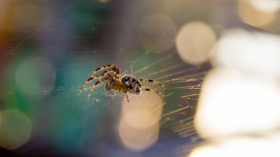Giftspinne in Deutschland: Spinne im Netz