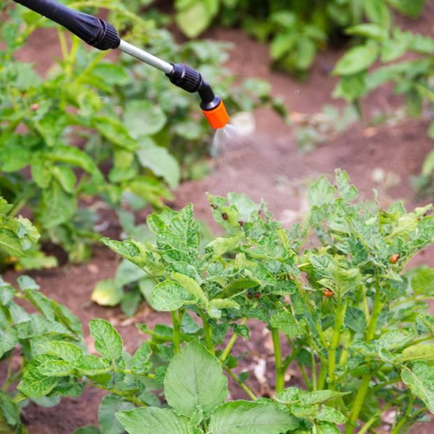 Kartoffelkäfer bekämpfen: Feld mit Kartoffelkäfern