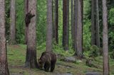 Lusitge Tierfotos: Bärenbabys