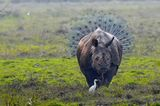 """Lustige Tierfotos: """"Rhinopeacock"""""""