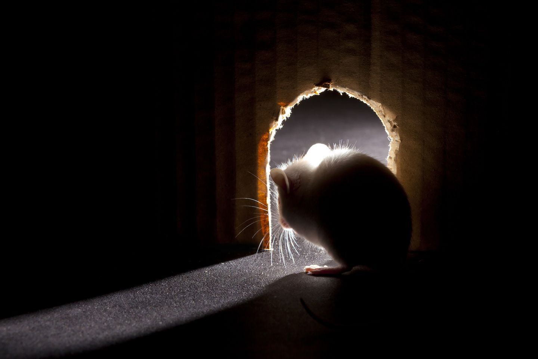 Mäuse vertreiben: Maus guckt aus Versteckt