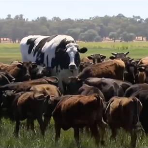 Riesen-Rind Knickers