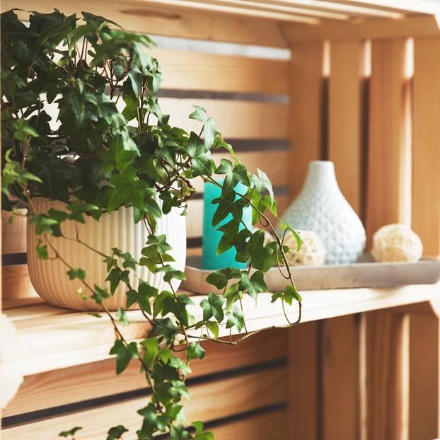 efeu pflege tipps f r eine pr chtige zimmerpflanze. Black Bedroom Furniture Sets. Home Design Ideas