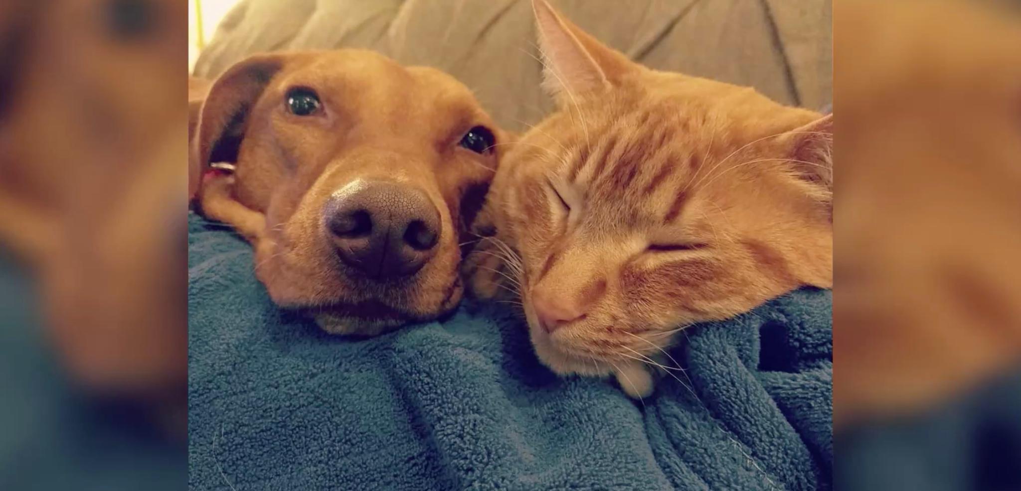 Liebe-pur-Katze-tr-stet-ngstlichen-Hund-wenn-die-Menschen-aus-dem-Haus-sind