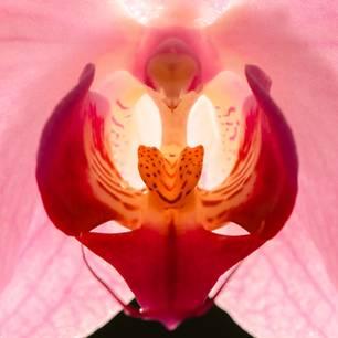 Blühende Orchidee: Eine rot blühende Orchidee