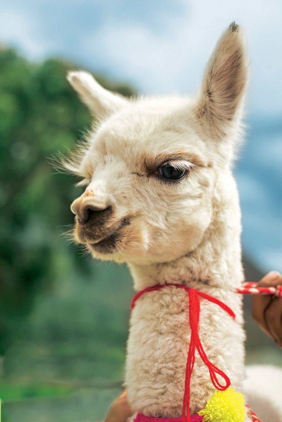 Peru: Die besten Reisetipps: Bild einem Baby-Alpaka