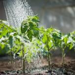Tomaten gießen: Tomaten werden gegossen