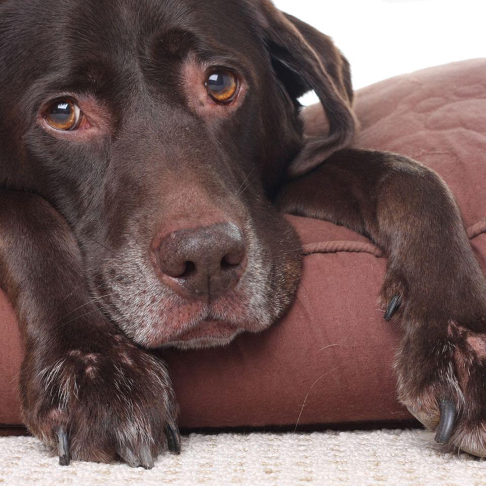 Fieber beim Hund – kranker Labrador