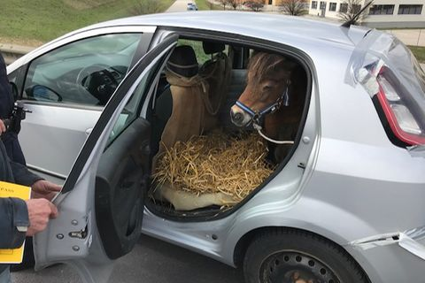 Polizei stoppt Kleinwagen mit Pony auf der Rückbank