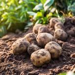 Kartoffeln pflanzen: Angebaute Kartoffeln