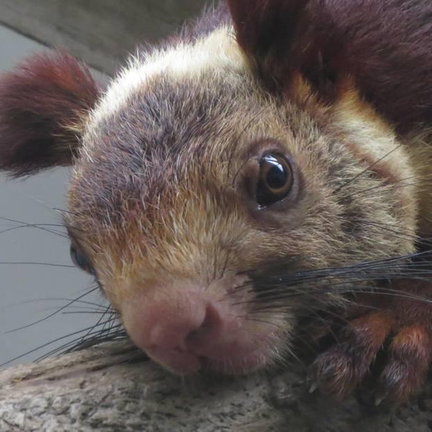 Eichhörnchen im eigenen Gesicht Kolumbianporno