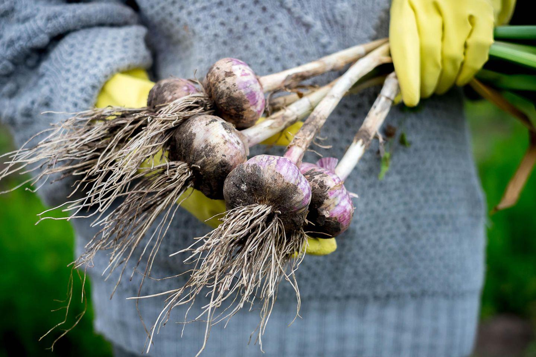 Knoblauch pflanzen: So gelingt der Anbau leicht: Jemand hält frisch geerntete Knoblauchknollen in der Hand
