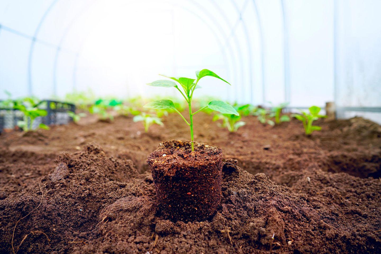 Paprika pflanzen: So gelingt der Anbau: Junge Paprikapflanzen im Gewächshaus