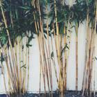 Bambus pflanzen und pflegen: darauf kommt es an: Bambushecke vor einer Wand