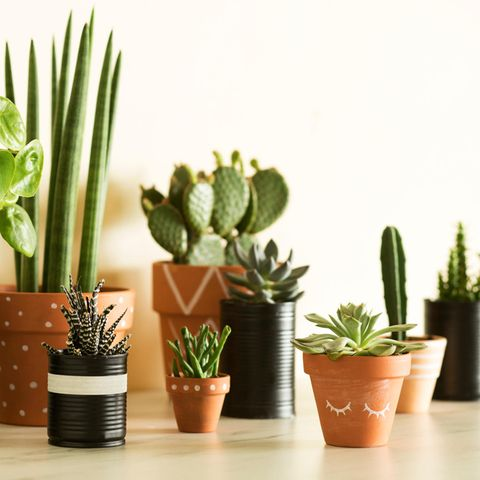 Sukkulenten-Pflege: Mit diesen 5 Tipps klappt's! Verschiedene Sukkulenten-Pflanzen in Töpfen auf einem Tisch