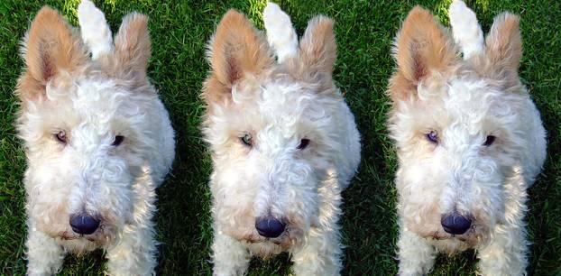 Können wir bald unsere Haustiere klonen: Drei Mal der selbe Hund