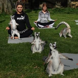 Yoga mit Lemuren