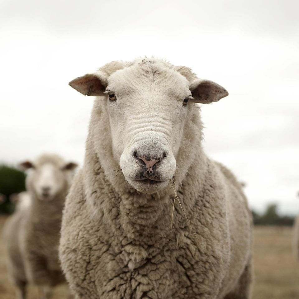 Schafe als Schüler