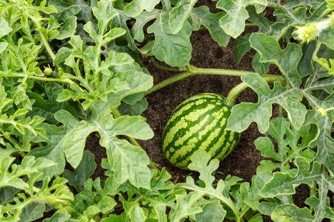 Wassermelone pflanzen: Tipps und Tricks für den Anbau: Wassermelonenpflanze im Beet