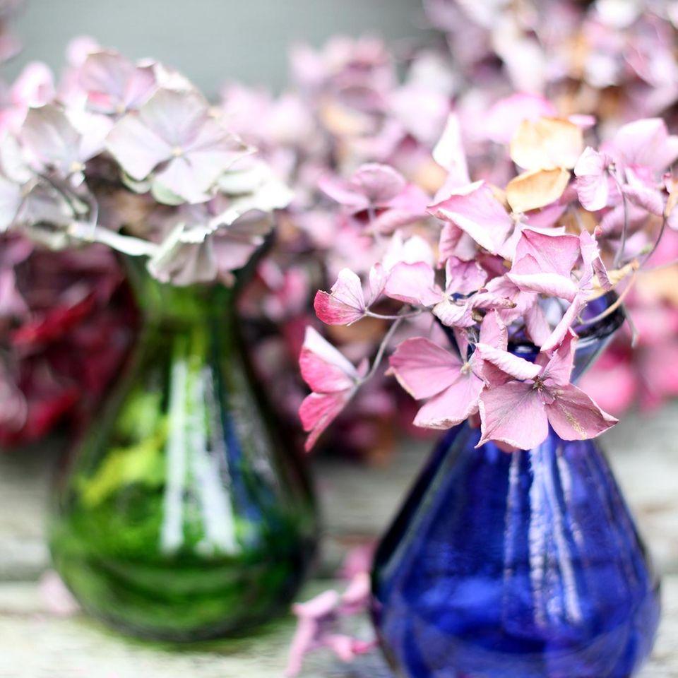 Hortensien trocknen: Tipps und Methoden: Getrocknete Hortensien in bunten Vasen auf einem Tisch