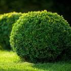 Immergrüne Pflanzen: So bleibt dein Garten ganzjährig grün: Buchsbäume in Kugelform auf Rasenfläche
