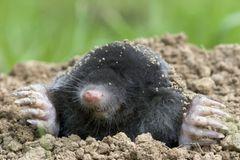 Maulwurf vertreiben: Tipps und Tricks gegen die Hügel: Maulwurf guckt aus einem Maulwurfhügel