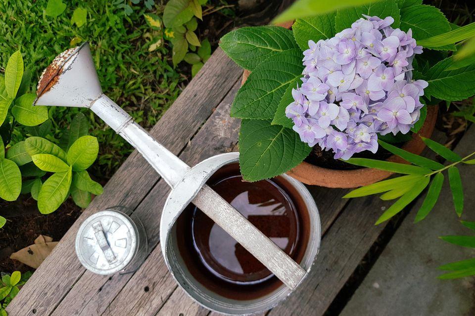 Hortensien pflanzen: Tipps für Garten und Kübel: Gießkanne neben einer Hortensie