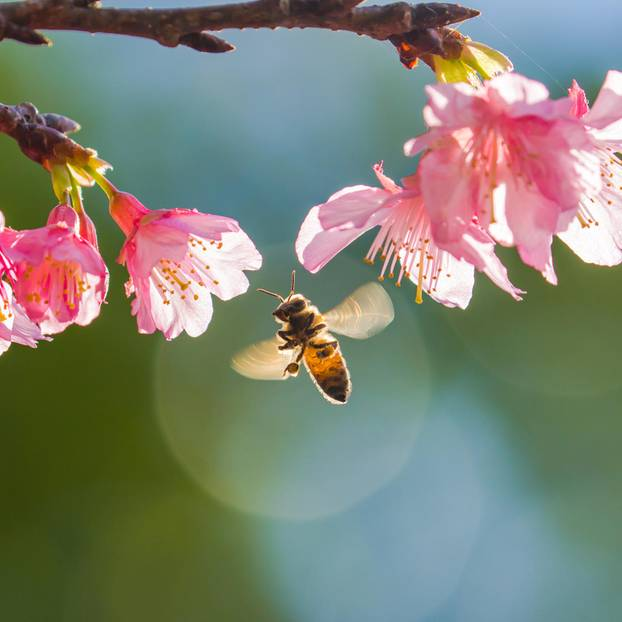 Bienenfreundliche Pflanzen für Balkon und Garten: Biene fliegt vor einer Kirschbaumblüte