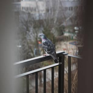 Tauben vertreiben: 7 wirkungsvolle Methoden: Taube sitzt auf einem Balkongeländer