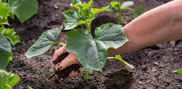 Gurken pflanzen: Tipps für Anbau und Pflege: Gurken-Jungpflanze wird in Erde eingesetzt