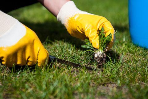 Hausmittel als Unkrautvernichter: Frau pflückt Unkraut vom Rasen