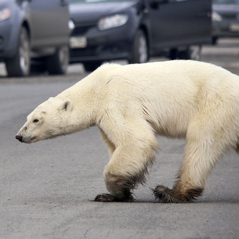 Trauriger Anblick: Abgemagerter Eisbär sucht in Großstadt nach Essen
