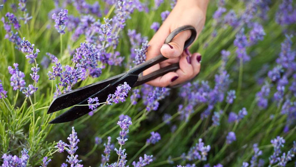 Lavendel schneiden: Wann und wie es am besten gelingt