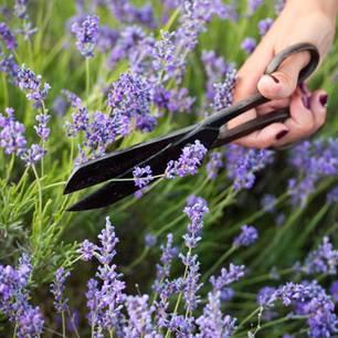 Lavendel schneiden: Große Schere schneidet Lavendelstiel ab