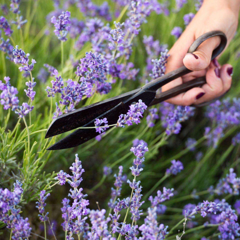 Lavendel schneiden - Video mit den besten Tipps | BRIGITTE.de